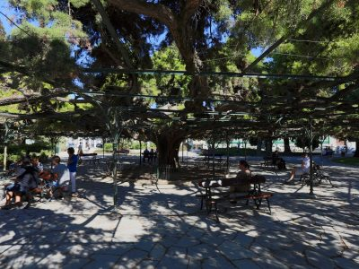 the most famous tree shade in Lisbon