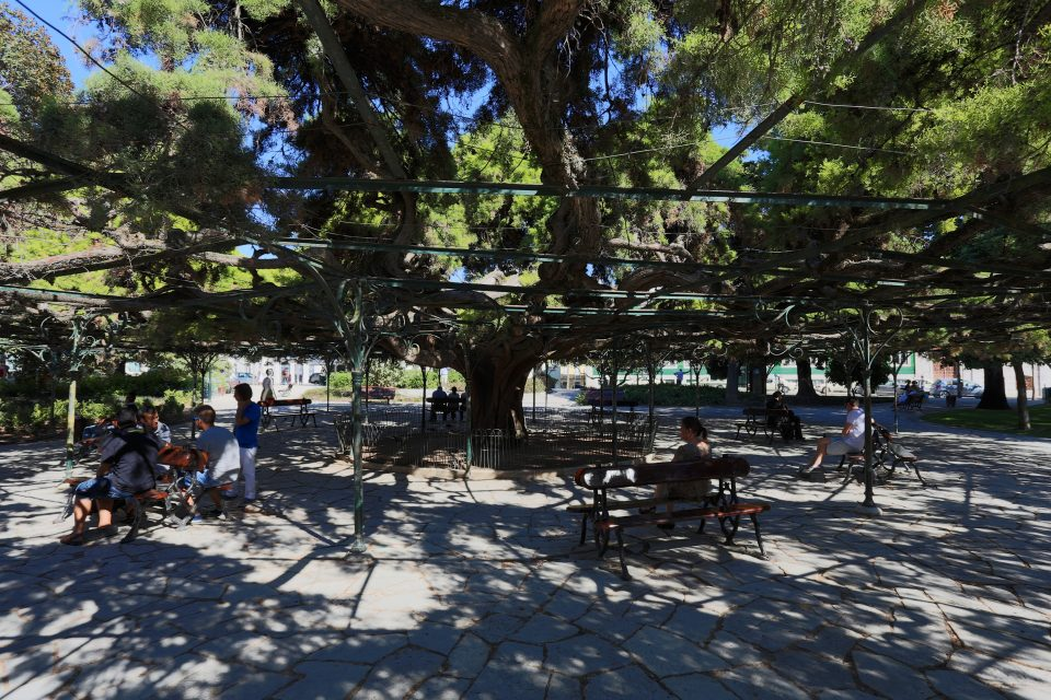 03. the most famous tree shade in Lisbon