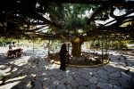 01. the 100 year old cedar