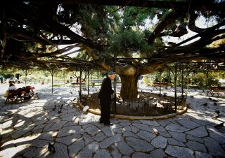 the 100 year old cedar