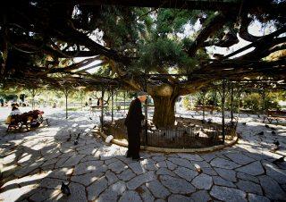 01. the 100 year old cedar